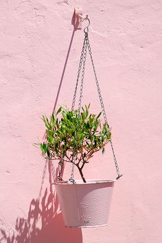 How to Grow an Olive Tree in a Container even in a lower than 8 zone.
