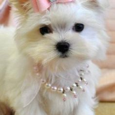 pearl, little girls, little puppies, maltese puppies, pet, dress up, a little princess, bow, little dogs