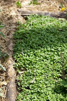DIY:  Growing mustard as a cover crop & mulch in the garden disinfects ,& regenerates the soil.