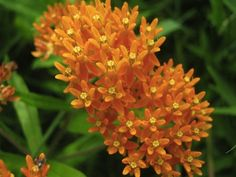 Butterfly Weed! Not many grow this in their garden but it is colorful and playful.   #gardens #gardening #flowers