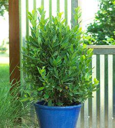 Sweet Bay (laurus nobilis) as a houseplant