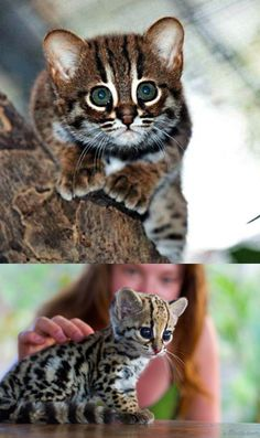 baby ocelot. The cutest animal to ever live.