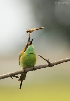 Green Bee Eater and Dragonfly - Circle of Life