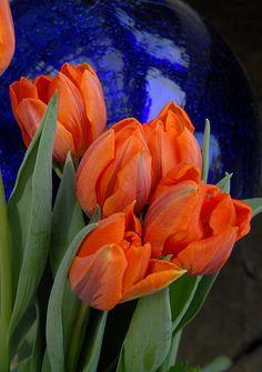 ✯ Tangelo Tulips