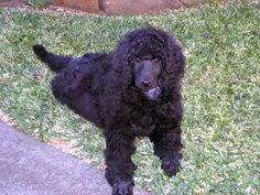 poodle puppy ... Dog training portal... not just for #poodles http://dogtrainingvideos...