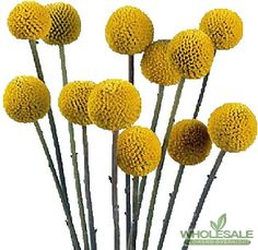 Craspedia Drumsticks 10 stems for $18