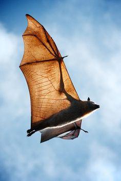 Flying Fox species