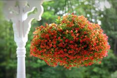 Calibrachoa 'Callie Orange', potted plant