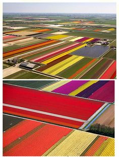 Dutch tulip fields! Incredibly beautiful.