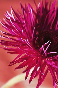 gerber daisy variation