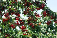 14 Different Variety of Cherry Trees (Sweet) Sell Online World Wide
