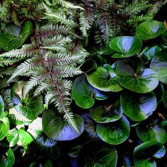 Japanese painted fern and Asarum europaeum