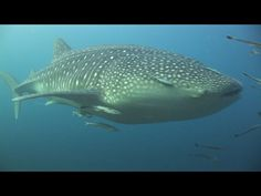 I can't wait to dive with whale sharks