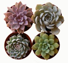 Premium Succulent Decor от ShopSucculents на Etsy