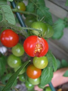 Keep Tomatoes from Splitting