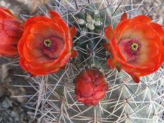 Claret Cup-Desert Botanical Garden