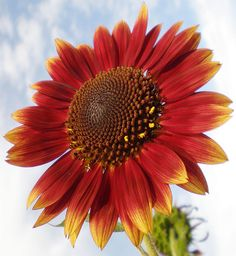Sunflower in red