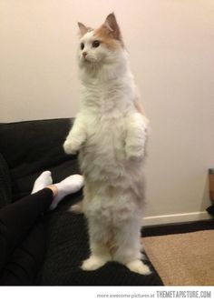 My cat thinks he is a human…