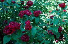 'Baron Girod de l'Ain' (1897) Hybrid Perpetual rose | RHS