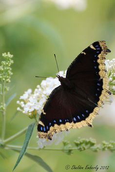 """""""Mourning Cloak"""" Butterfly"""