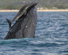 Humpback whale playing with a dolphin