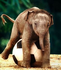 Baby Elephant Playing