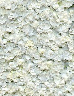 Viburnum plicatum forma tomentosum 'Shasta' | Flickr - Horticultural Art Photostream