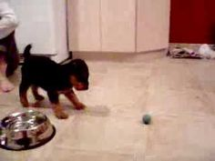 Airedale puppy's first ball