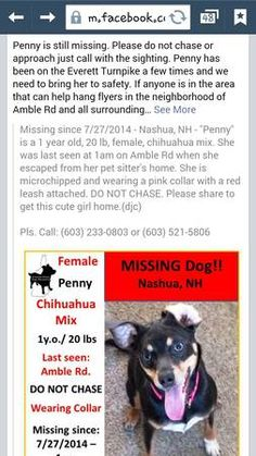 Lost puppy chihuahua mix female (exit 4 nashua )