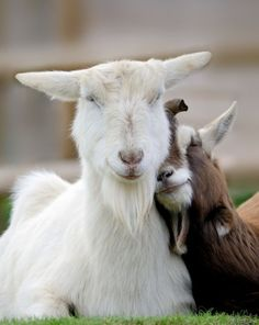 Happy goats