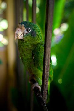 Parrot .