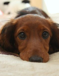 ❤ aww, animals, longhaired dachshund, bears, ador, puppi, long hair dachshund, dog, puppy eyes