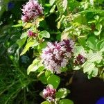 Oregano Oil Digestive, menstruation, anti bactertial, amazing wonder plant