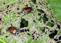 Adult Japanese beetles do not appear to be very numerous this year as predicted from the deeply frozen soils in the northern half of Illinois last winter.