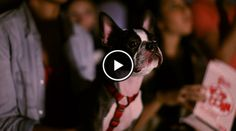 Anyone else Brings their Boston Terrier Dogs to Watch some Movies at the Drive In?! → http://www.bterrier.com/?p=16558 - https://www.facebook.com/bterrierdogs