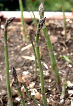Learn how to grow asparagus: http://www.vegetable-garden-guide.com/planting-asparagus.html