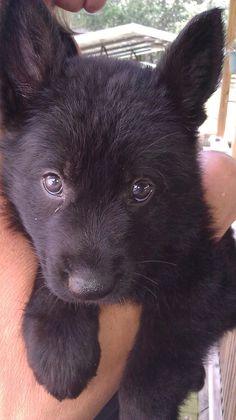 All black German Shepard puppy