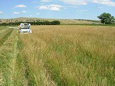 Harvesting seed of Pryor slender wheatgrass.