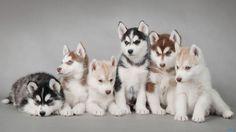 cutest animal photos | Cute Husky Puppies HD Wallpaper Cute Husky Puppies