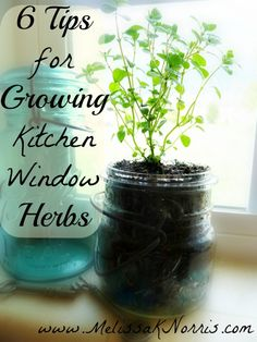 6 Tips for Growing Kitchen Windowsill Herbs @Melissa Squires Squires Squires Squires Squires Squires K. Norris @Cindy Woodsmall Plus, giveaway of Pioneering Today. Use those Mason jars as planters!!