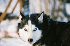 Such a gorgeous husky.