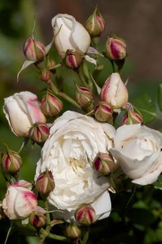 William and Catherine - English rose