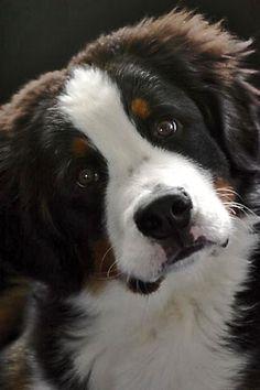 Bernese Mountain Dog #dogs #animal #bernese #mountain