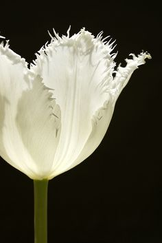 White Fringed Tulip | Tulips | Single flowers have six petals. Flower variations include lily-flowering types, double flowers, fringed petals and ruffly parrot varieties. Colors include white, yellow, pink, peach, orange, red, lavender, purple and bi-colors. Vase life is up to seven days.