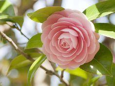 Camellia Japonica by Polotaro
