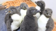 A passel of penguins make their debut at Omaha zoo