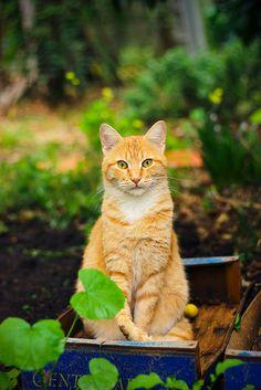 A new friend  ~ pretty ginger cat ♥