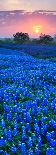 Texas Blue Bonnets.