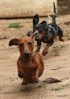 Doxie chase game.