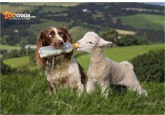 Tout pour vos #agneaux et autres #animaux sur zoomalia.com http://www.zoomalia.com/animalerie/Soin-des-ovins-c-507-1.html